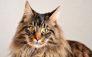 maine-coon-3 (1)